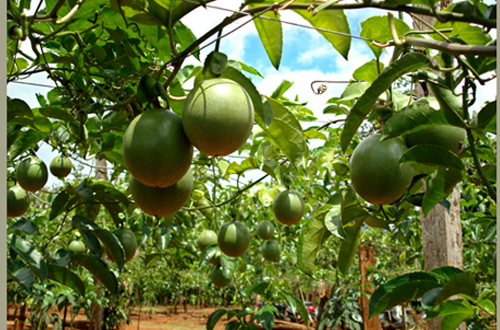 Developing passion fruit towards sustainability